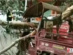 突发!石田心树枝突然断裂,三轮车头被断枝压住!【附视频】