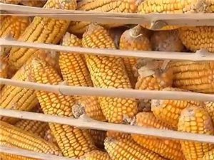 滑�h玉米�r格��新高,央�新�都�c名了!