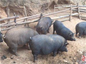 哈哈哈家猪有需要的吗