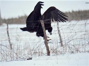 张建民摄影:上都识鸟64秃鹫