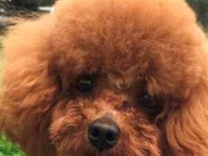 【寻狗启事】丢失一只泰迪狗,有重谢!