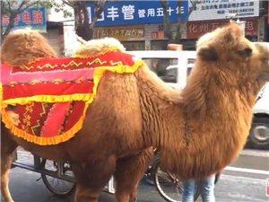 化州街头惊现骆驼!引发多人围观!