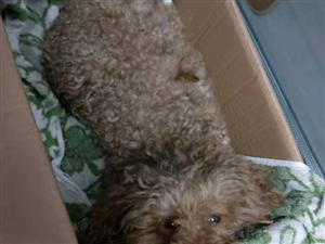 �R�R哈��大�W�|�^���蛏习l�F一只棕色泰迪犬,�ふ抑魅�