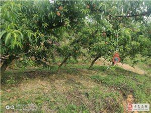 荒山果园产业转型种桃,利民苗木推出新西兰早红极早熟毛桃,皇冠油桃等苗
