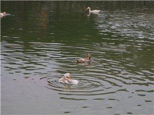 池塘水暖鸭先知