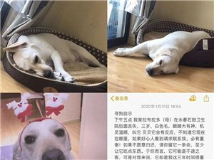 永春網友家的拉布拉多狗狗丟失了!你看見了嗎?