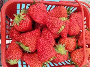 睢�h奶油草莓上市!十五一斤,四斤免�M配送,好� 西大家吃!(推�])