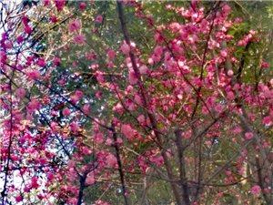 路边梅花盛开