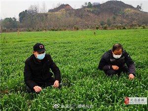 """大冶农业部门当好农作物病虫害防控的""""侦察兵"""""""