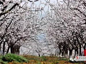 【广而告之】青白江暂停举办2020年福洪镇杏花(果)生态旅游节