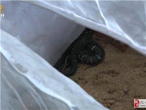 化州合江竟然有人养毒蛇,太可怕了!