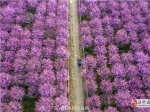 乍暖还寒 勉县千棵美人梅与百亩油菜花竞春光