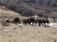 陇南公安快速出击为群众追回被盗窃马15匹