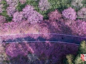 春日暖阳!长兴千亩梅花盛开