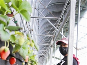 草莓大棚春意��