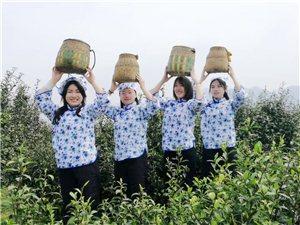 快看!宜居乡云上春茶节!