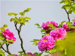 新安最美的牡丹竟然都在�@里…�@些你未曾��^的模��,太�@�G了!