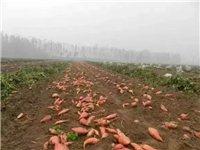 富顺又到了挖红薯的季节了,快回家帮你妈妈挖红薯!
