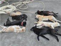 年关将近,潢川偷狗事件频频出现,周边邻居家中的狗接二连三被偷!