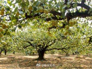 """砀山酥梨入围地理标志农产品""""国家保护工程"""""""