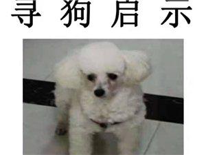 养了9年的爱犬(白色贵宾犬)丢了,望好心人提供线索