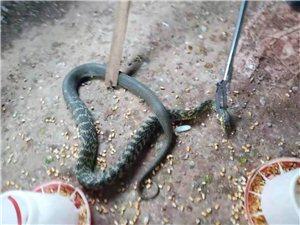 毒蛇�J入��h一�r�艏抑�