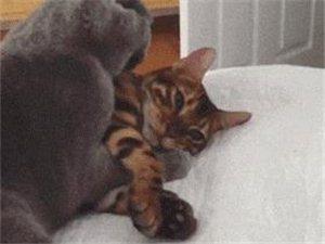 听说养猫的男生容易渣!