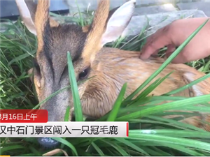 野生毛冠鹿闯入汉中石门景区受伤