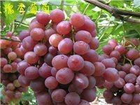 不同品种的葡萄要这样挑,保证你不花冤枉钱