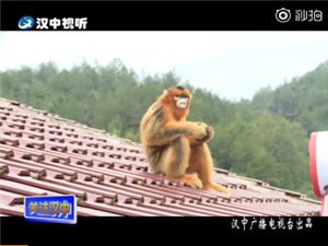 """蹭吃蹭喝的金丝猴竟然舒适的当起了""""山大王"""""""