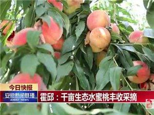 安徽新闻联播报道:霍邱千亩生态水蜜桃丰收采摘