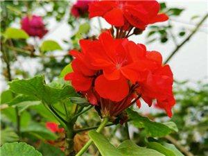 春夏已去,秋冬来临,我家楼顶花儿依然美丽绽放!