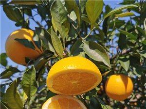 唉、家里今年�资��f斤的�橙不知道怎么�u,要��在地里怎么�k?