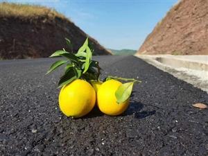 唉、家里今年几十万斤的脐橙不知道怎么卖,要烂在地里怎么办?