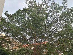 免费赠树,需要的来挖走