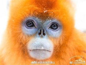 �P于川金�z猴,你知道多少?