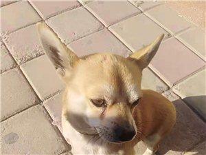瓜州�B狗居民注意了11日以后,狗狗�]有�@些�C件�⒁婪ㄟM行捕捉收容