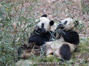 陕西佛坪:冬日熊猫撒娇卖萌格外活泼