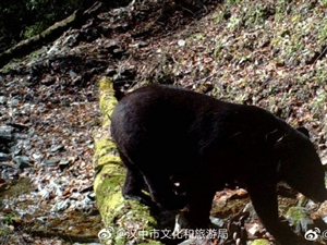 """熊�、羚牛、�\�u、黑熊...留�渭t外相�C�R�^下的""""全家�!�"""