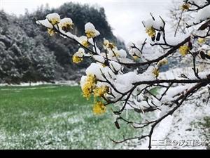 汉中多地迎来桃花雪,龙头山、天台山雪景如画,西乡茶农冒雪采摘春茶