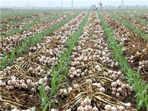 今年农民的大蒜种植量巨大,明年价格会是多少钱一斤