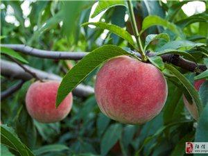 鼎致集�F的桃子熟了,�g�凡烧�一日游8月31日正式�_始啦!
