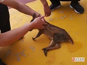 萌宠一枚!西乡成功救助一只野生麂鹿幼崽