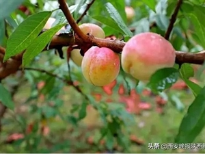 汉中10万斤冬桃滞销惹人愁?