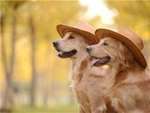 10种不掉毛的狗,你家的上榜了吗