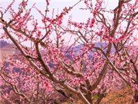 板桥万亩桃花已盛开 期待桃果飘香丰收来