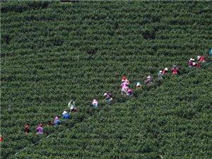 10万采茶工涌入长兴