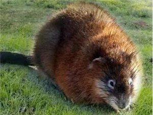 德令哈公安:居民家中惊现国家一级保护濒危野生动物--麝鼠