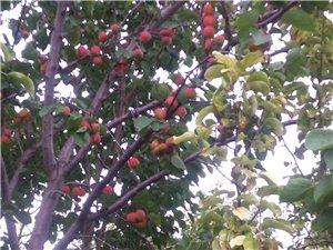 【阿拉善左旗】农家果园蜜杏采摘 绿色之光南果源