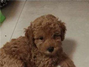50天纯种泰迪狗个人出售